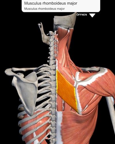 Musculus rhomboideus major - zwischen Schulterblatt und Wirbelsäule