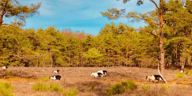 Ziegen im Wildpferdgehege Tennenloher-Forst